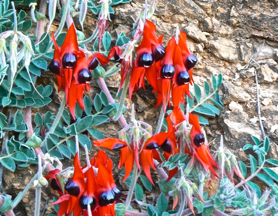 Sturt Desert Pea, floral emblem of South Australia