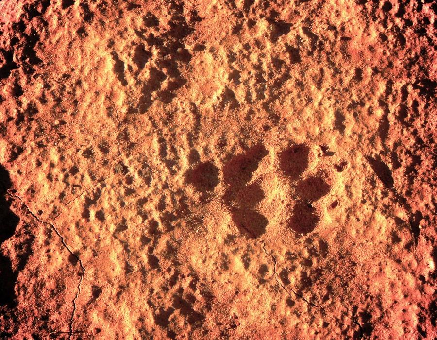 Evidence of a dingo!